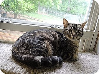 Domestic Shorthair Cat for adoption in House Springs, Missouri - Manolo Blahnik