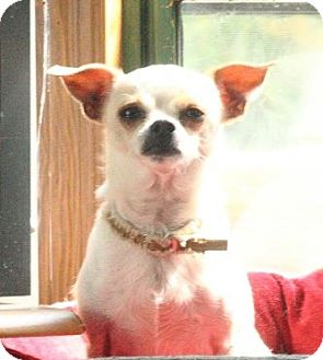 Chihuahua Mix Dog for adoption in Morgantown, West Virginia - Archer
