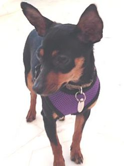 Miniature Pinscher Dog for adoption in Atlanta, Georgia - Sprite