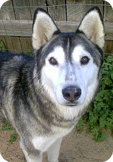 Siberian Husky Dog for adoption in Cedar Crest, New Mexico - Howie
