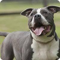 Adopt A Pet :: Tikka - Spring City, PA