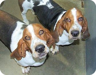 Basset Hound Dog for adoption in Grapevine, Texas - Barnaby