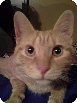Domestic Shorthair Cat for adoption in Columbus, Ohio - Rudy