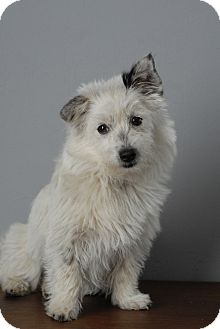 Westie, West Highland White Terrier/Havanese Mix Puppy for adoption in Los Angeles, California - Chia