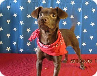 Rat Terrier Mix Dog for adoption in Walthill, Nebraska - Little Bear