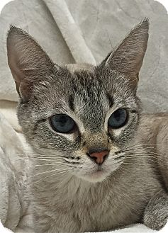 Siamese Cat for adoption in South Haven, Michigan - Sassy