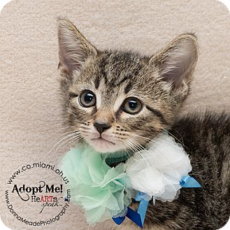 Domestic Shorthair Kitten for adoption in Troy, Ohio - Marge
