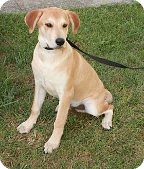 Labrador Retriever Mix Puppy for adoption in Newark, New Jersey - Tater Tot