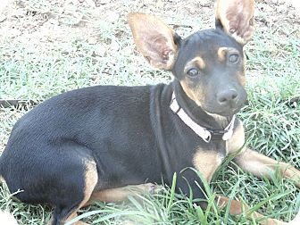 Chihuahua Mix Puppy for adoption in Las Cruces, New Mexico - Harper