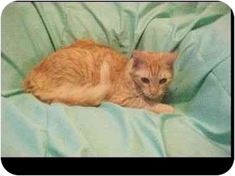 Domestic Mediumhair Kitten for adoption in Conroe, Texas - Holly