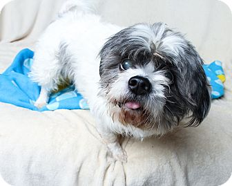 Lhasa Apso Mix Dog for adoption in Wilmington, Delaware - Manchas