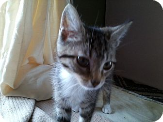 Domestic Shorthair Kitten for adoption in Middletown, Ohio - Sprout