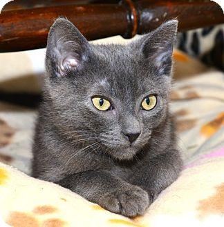 Russian Blue Kitten for adoption in Davis, California - Petrie
