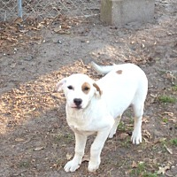 Labrador Retriever/American Pit Bull Terrier Mix Dog for adoption in Pointblank, Texas - Patches