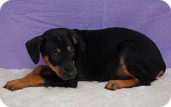 Doberman Pinscher/Terrier (Unknown Type, Medium) Mix Puppy for adoption in East Sparta, Ohio - Mills