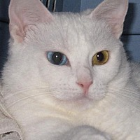 Domestic Shorthair Cat for adoption in Lovingston, Virginia - Myst (FC=ar)