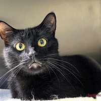 Domestic Shorthair Cat for adoption in Paris, Maine - Babydoll