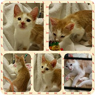 Domestic Shorthair Kitten for adoption in Zanesville, Ohio - Tag-A-Long