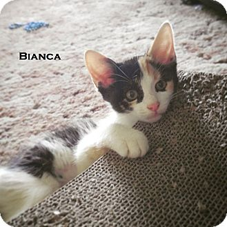 Domestic Shorthair Kitten for adoption in Speedway, Indiana - Bianca