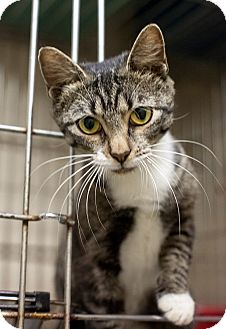 Domestic Shorthair Cat for adoption in Henderson, North Carolina - Sally* **Pregnant**
