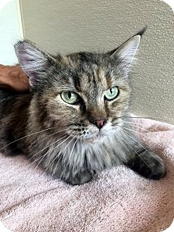 Maine Coon Cat for adoption in Las Vegas, Nevada - Dolly