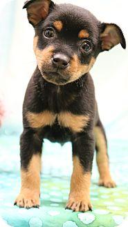 Miniature Pinscher Mix Puppy for adoption in Hagerstown, Maryland - Rollie