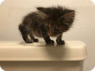 Domestic Mediumhair Kitten for adoption in Grand Junction, Colorado - Margot