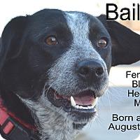 Blue Heeler Mix Dog for adoption in Richmond, Missouri - Bailey