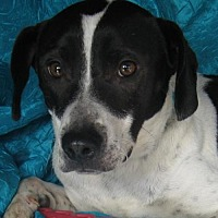 Beagle/Border Collie Mix Dog for adoption in Cuba, New York - Charlotte Goldie