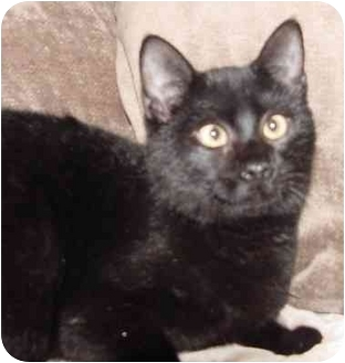 Domestic Shorthair Cat for adoption in Brenham, Texas - Pepper