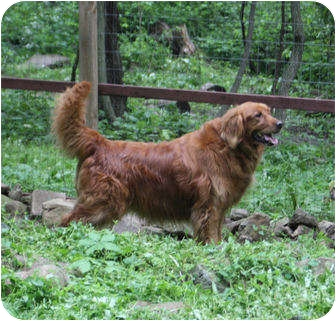 Golden Retriever Dog for adoption in Gapland, Maryland - Harley