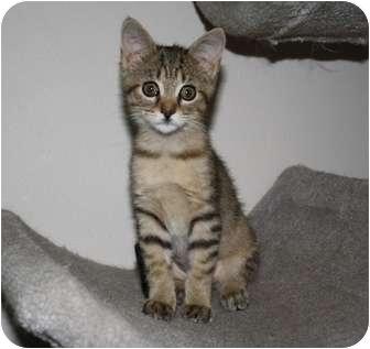 Domestic Shorthair Kitten for adoption in Brighton, Michigan - Orphan Annie