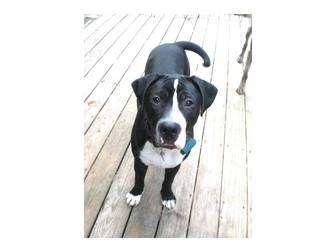 Labrador Retriever/Boxer Mix Dog for adoption in North Kingstown, Rhode Island - DUBLIN
