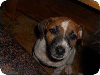 Jack Russell Terrier Puppy for adoption in hartford, Connecticut - jrt pup 2