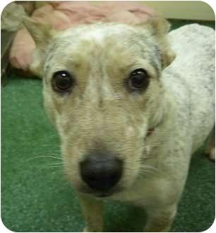 Corgi Mix Dog for adoption in Youngwood, Pennsylvania - Kat Von D