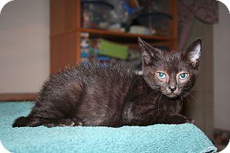 Domestic Shorthair Kitten for adoption in Santa Rosa, California - 3-legged