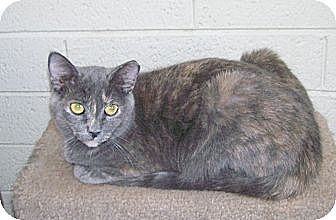 Domestic Shorthair Cat for adoption in Scottsdale, Arizona - Nadia