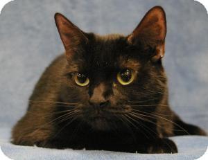 Domestic Mediumhair Cat for adoption in Sacramento, California - Princess