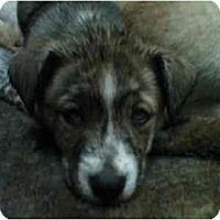 Adopt A Pet :: Akira - Jacksonville, NC