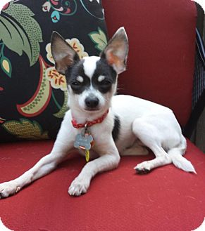 Toy Fox Terrier/Chihuahua Mix Dog for adoption in Dahlgren, Virginia - Ranger