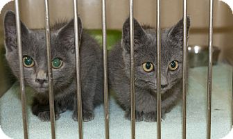 Domestic Shorthair Kitten for adoption in North Brunswick, New Jersey - Sinatra