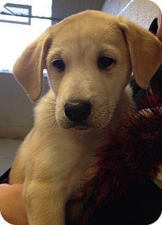 Labrador Retriever/Husky Mix Puppy for adoption in Greensburg, Pennsylvania - Jethro