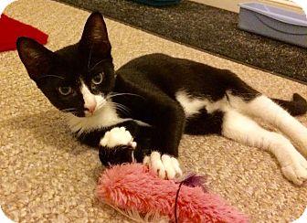 Domestic Shorthair Kitten for adoption in East Brunswick, New Jersey - Jax