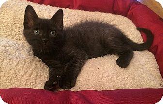 Siamese Kitten for adoption in Tampa, Florida - Lilo