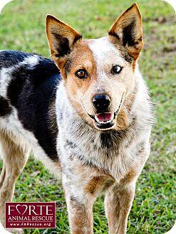 Australian Cattle Dog Dog for adoption in Marina del Rey, California - Freckles