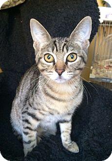 Domestic Shorthair Kitten for adoption in Irvine, California - POOH