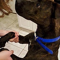 Plott Hound/Pit Bull Terrier Mix Dog for adoption in New Bern, North Carolina - Nellie