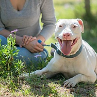 American Bulldog Mix Dog for adoption in Corona, California - Aramis