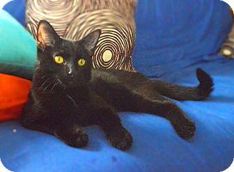 Domestic Shorthair Cat for adoption in Chicago, Illinois - Ryuk