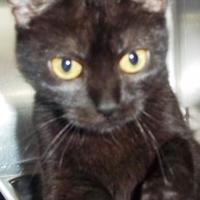 Domestic Shorthair/Domestic Shorthair Mix Cat for adoption in Memphis, Tennessee - Shade